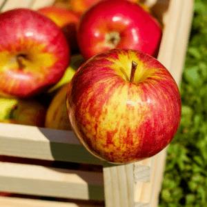 South Carolina Apples